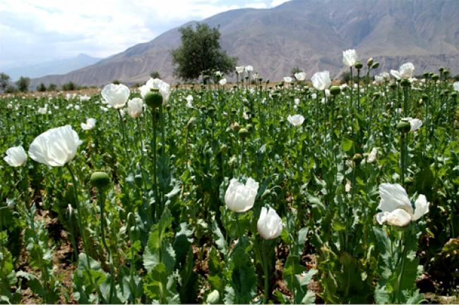 Myanmar: UN concerned over boosts in opium production