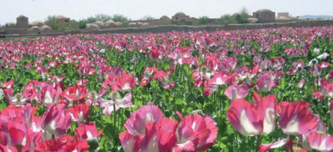Development and alternative crops provide hope in war on illicit drugs :UN