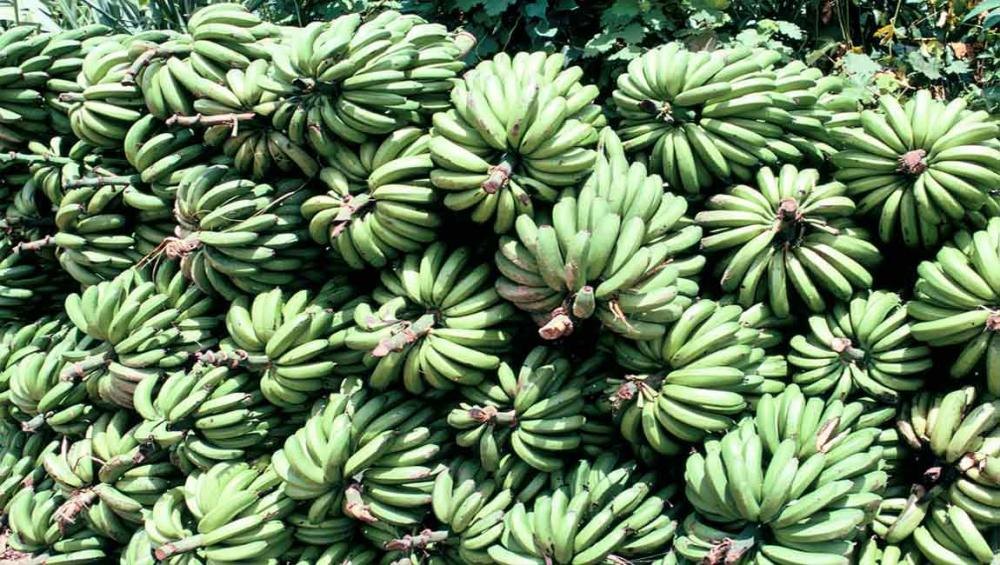UN agriculture agency launches handbook to improve safety in banana farming sector