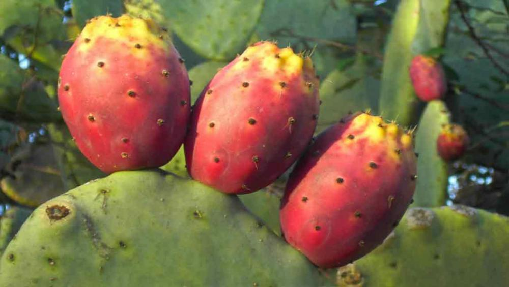 From thorny to tasty: UN agriculture agency looking at cactus as climate resilient food