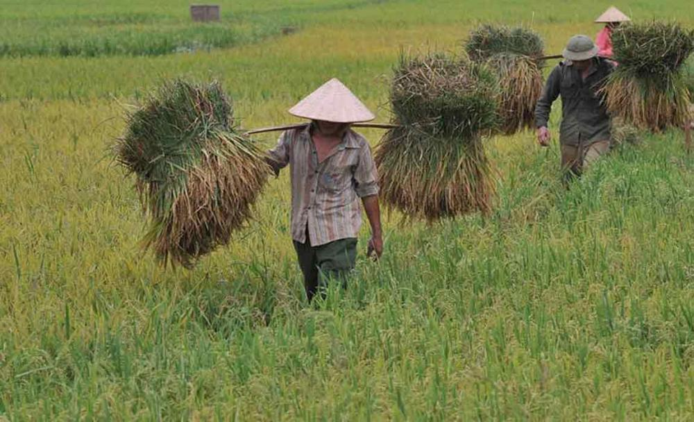 UN agriculture agency takes step to help rice farmers bolster production