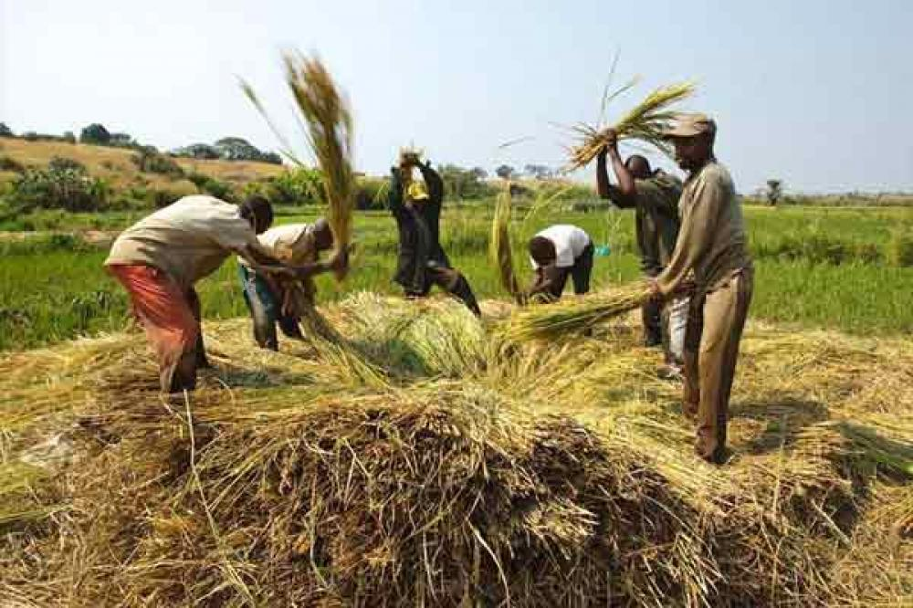 Global food prices fall in August as cereal output heads for record high – UN
