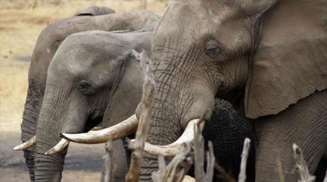 New UN guidelines issued to counter 'critically high' levels of elephant poaching in Africa