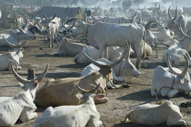 'Silent emergency' in South Sudan as protracted conflict displaces millions of cattle – UN