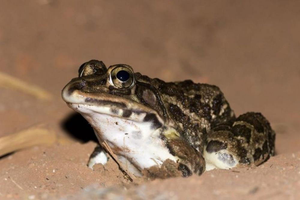 Frogs in Sikkim Himalayas threatened by extraction for meat, allegedly of medicinal value