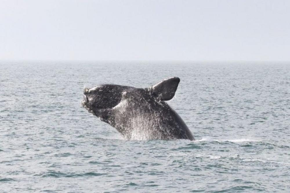 US considers auditing Canada's efforts to protect endangered whales