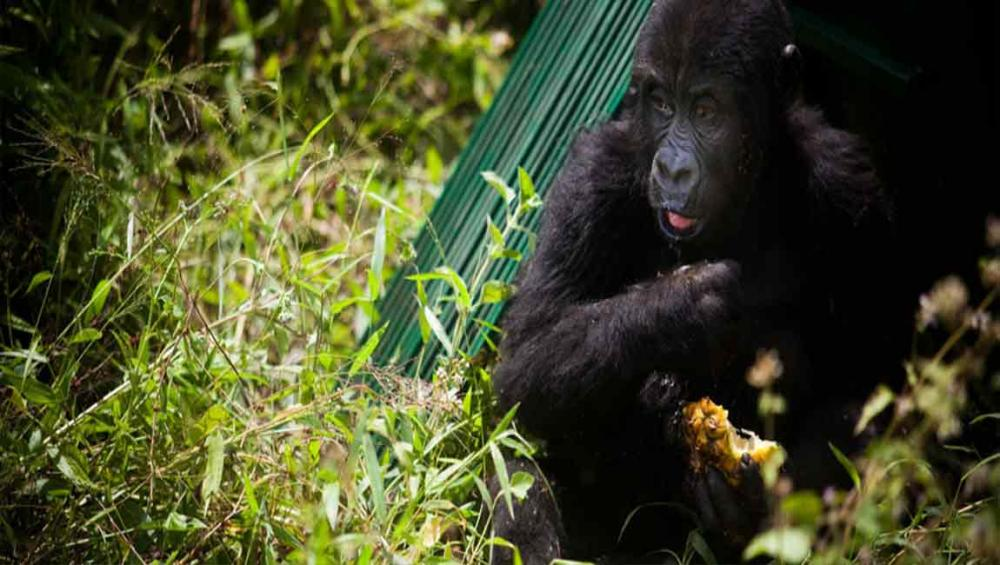 UNESCO condemns killing of rangers protecting mountain gorillas at renowned DR Congo wildlife park
