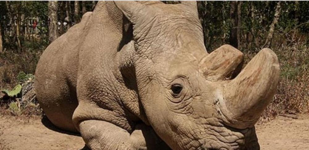 Sole surviving male northern white rhino is gravely ill in Kenya