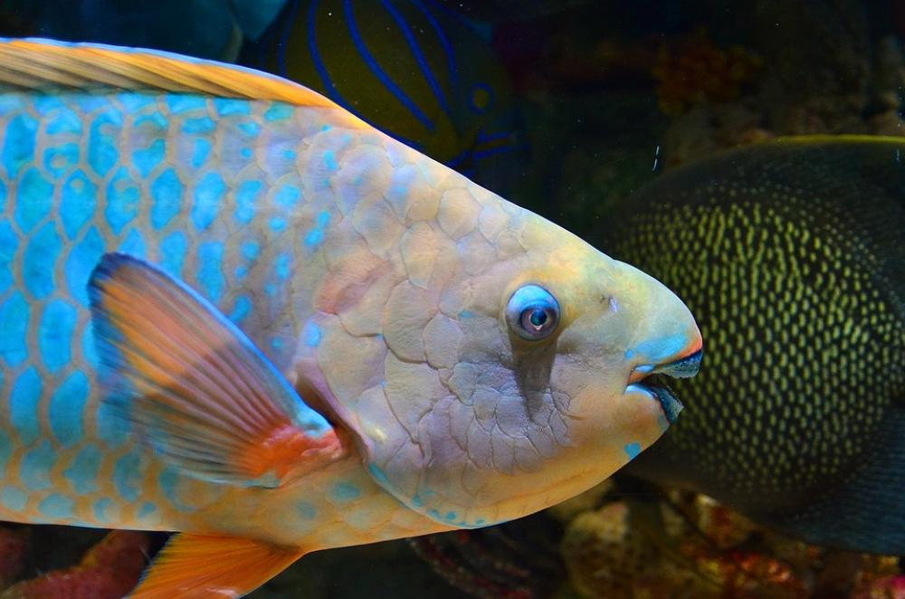 When reefs decline, parrotfish thrive: Study