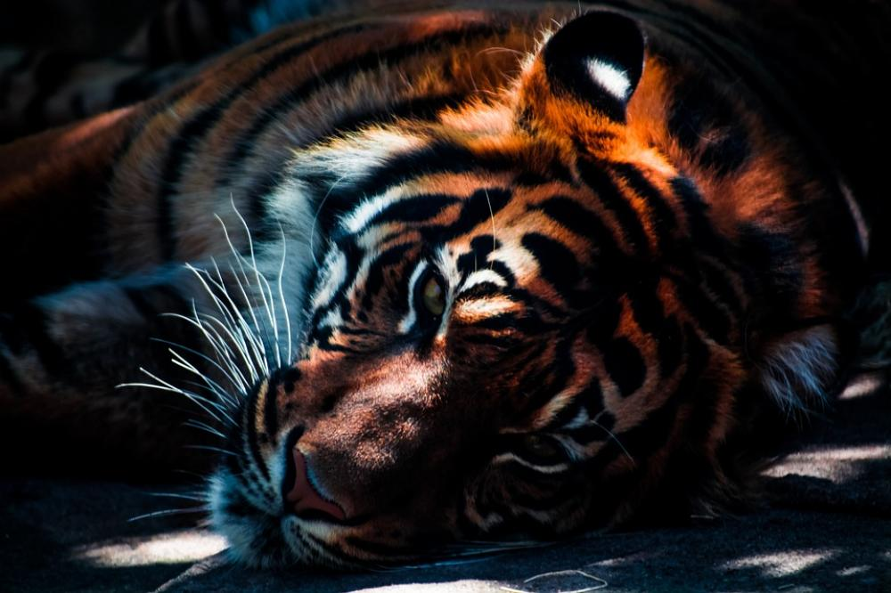 Climate change may now destroy Bengal Tiger's home, reveals study
