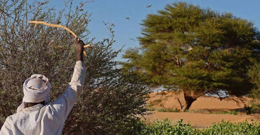 Fight against desert locust swarms goes on in East Africa despite coronavirus crisis measures