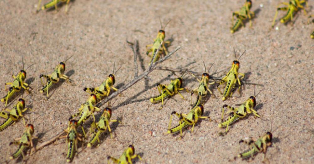Act now to prevent Desert Locust catastrophe in Horn of Africa: UN agencies