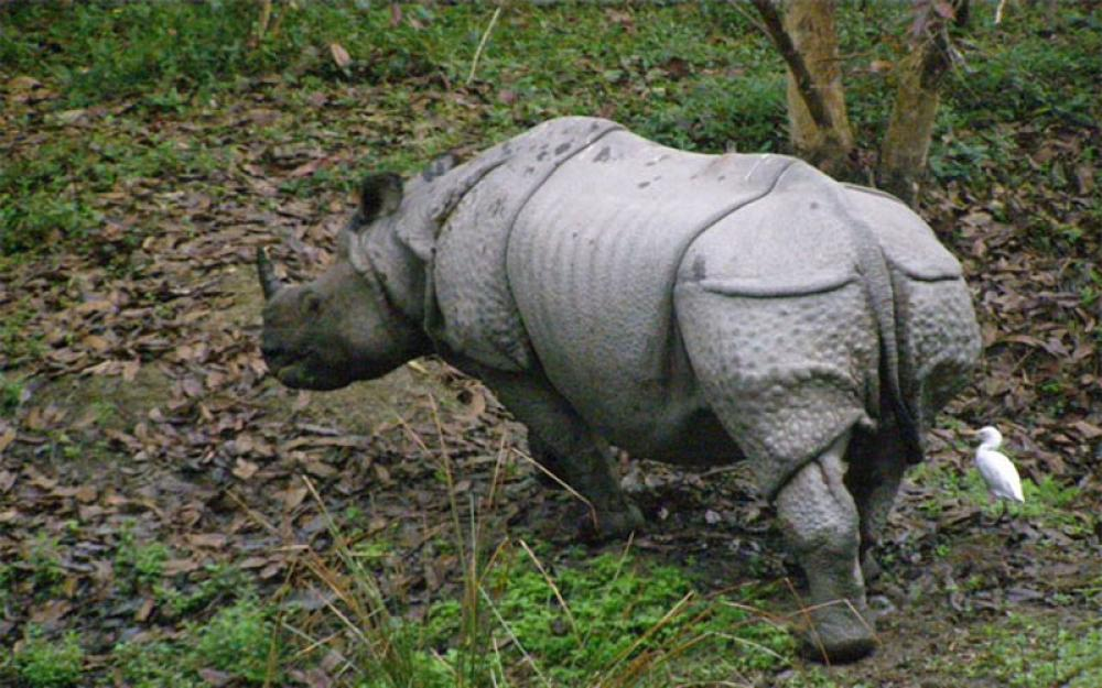 In India's Orang National Park, one-horned rhinos flourishing after global and local efforts