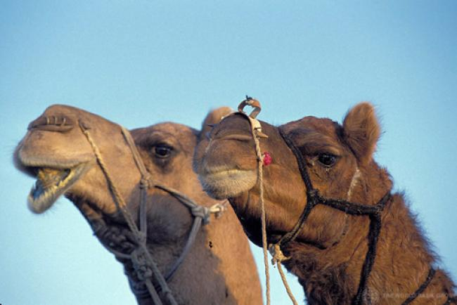 UN urges research on animals in spreading MERS virus