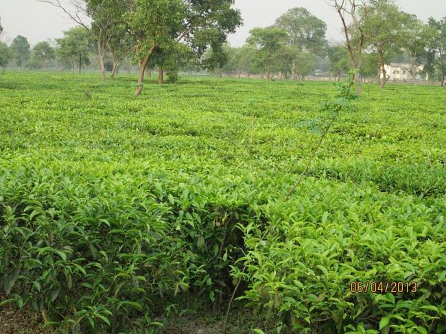 Greenpeace calls on the industry to save Indian tea from pesticides