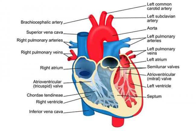 High resting heart rate, blood pressure linked to later mental health disorders