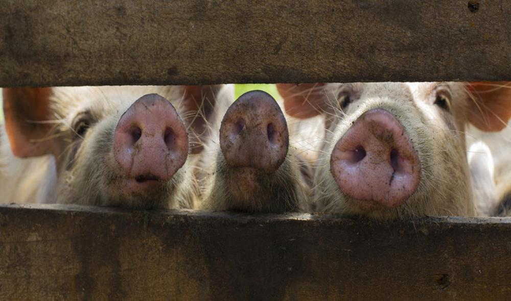 Deadly swine fever threatens Asia, UN agriculture agency warns, urging regional collaboration