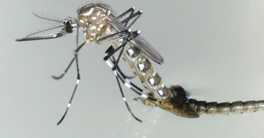 UN mosquito sterilization technology set for global testing, in battle against malaria, dengue