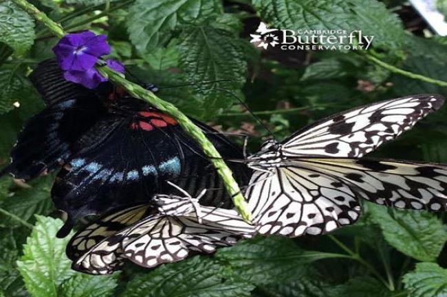 Cambridge, Ontario: Butterfly snowfall
