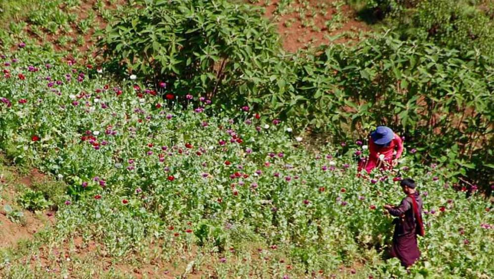 Myanmar: opium cultivation down 25 per cent, but conflict areas remain 'safe haven' for drug traders