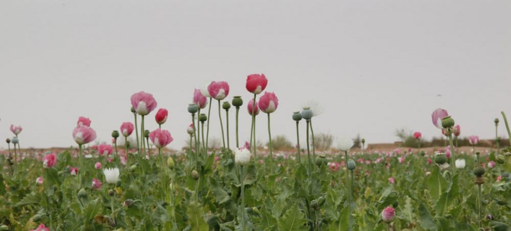 Record-high opium production in Afghanistan creates multiple challenges for region and beyond, UN warns